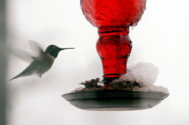 Wildlife group kept busy as resident hummingbirds suffer in B.C.'s frigid weather