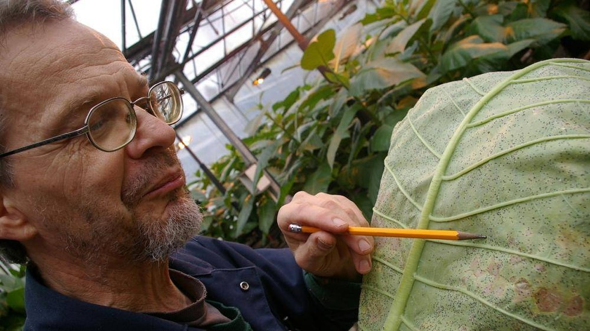 Mike Wiltshire, one of eight full-time employees at Applied Bio-Nomics in North Saanich, B.C., points out black specks, which are whitefly scales that have been parasitized by Encarsia formosa, a predatory insect.