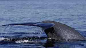 A Blue whale dives off the Atlantic coast.