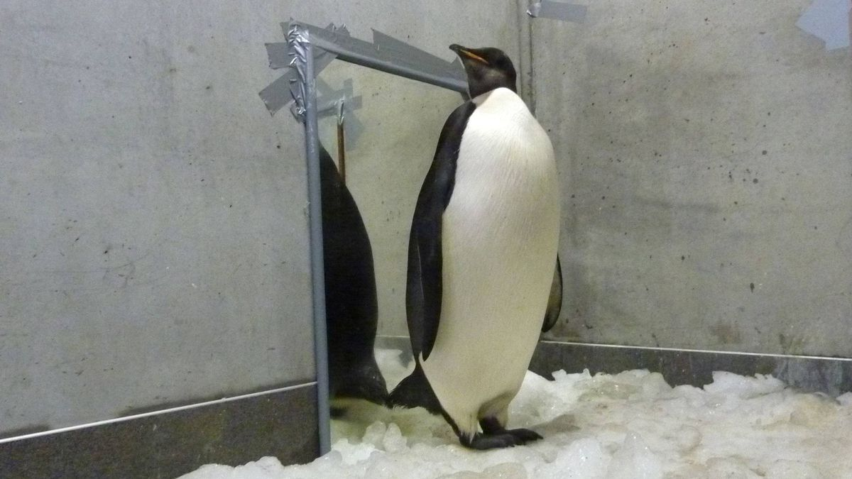 "This photo taken on August 25, 2011 shows New Zealand's most famous penguin ""Happy Feet"" in his icy room at Wellington Zoo's hospital. Happy Feet set sail on August 29 for the icy waters he calls home."
