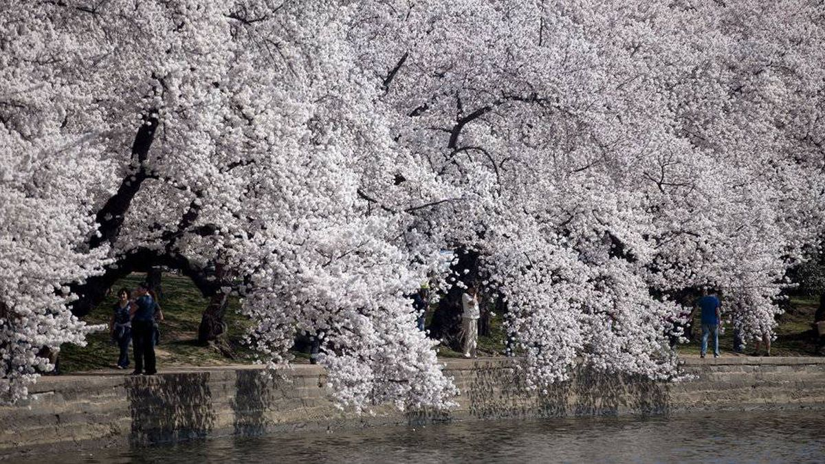 Over one million people are expected to attend the National Cherry Blossom Festival this year.