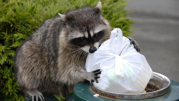 How to raccoon-proof your home - The Globe and Mail