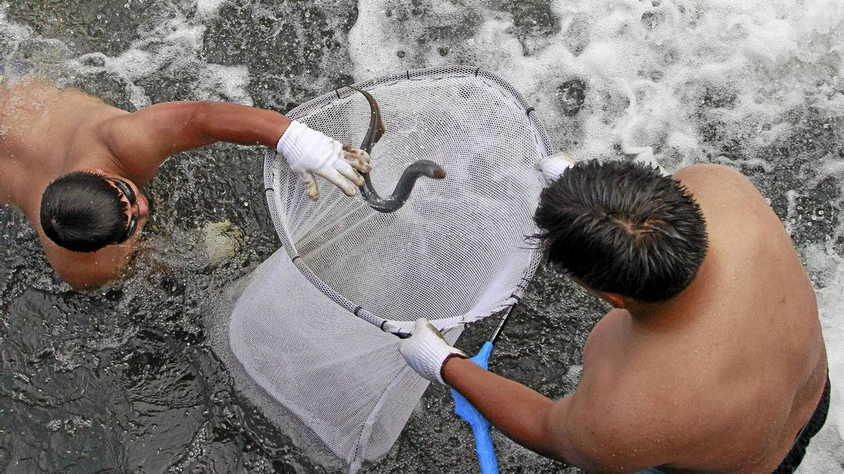 In this photo taken July 8, 2011, shows tribal youth stuffing a lamprey in a net, at Willamette Falls, in Oregon City, Ore. As long as Indians have lived in the Northwest, they have looked to lamprey for food. (AP Photo/Rick Bowmer)