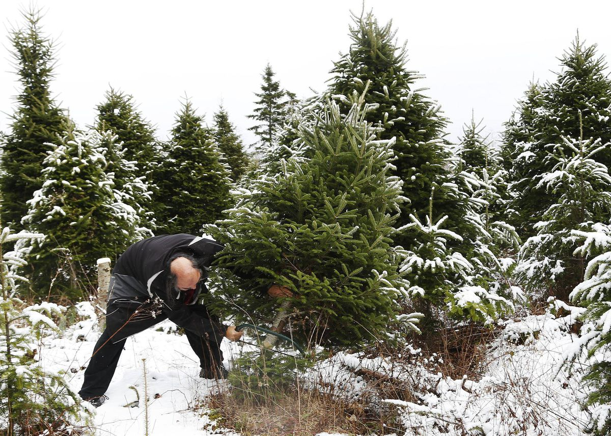 Christmas Trees And Crown Land Regulations Might Leave You Pining