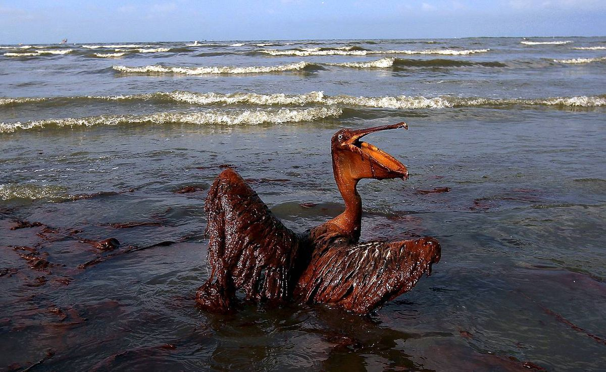 A brown pelican coated in heavy oil wallows in the surf on East Grand Terre Island, Louisiana on Friday, June 4. Oil is coming ashore in large volumes across southern Louisiana coastal areas.