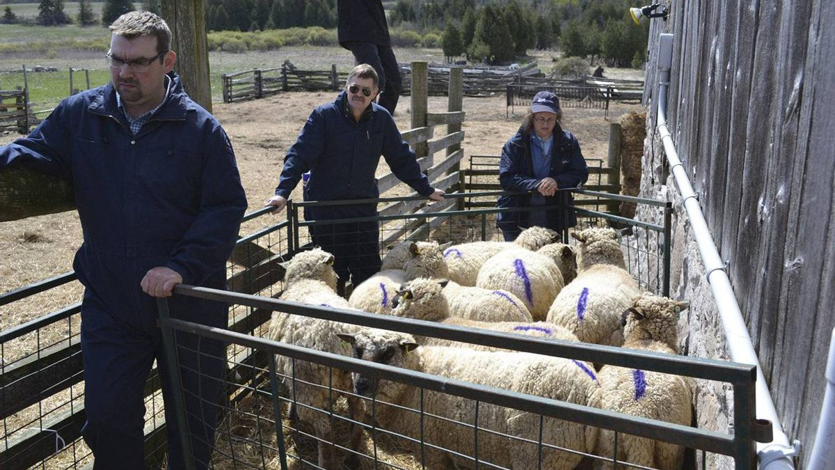 CFIA agents seized nine Shropshire sheep from the farm of Montana Jones on Saturday, April 28, 2012. CFIA suspects the sheep have scarpies.