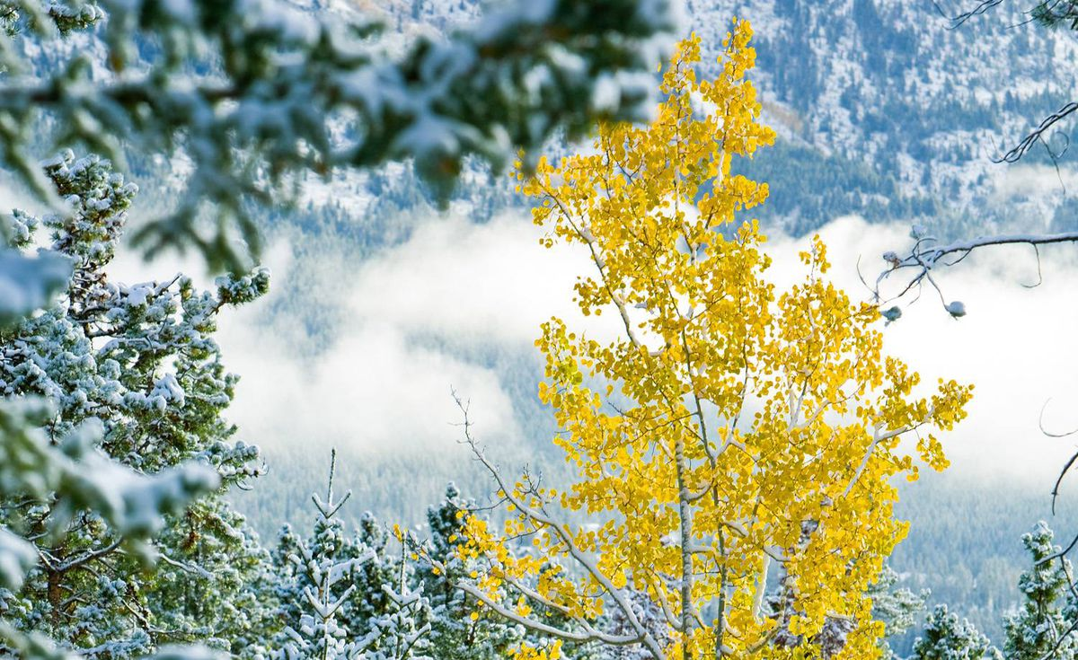 <b>The trembling Aspen:</b> This is the most widely spread tree species in North America, but in parts of Canada, it is the only tree species. Sensitive to each passing breeze, the aspen colonizes areas where logging or fire has decimated the landscape. <i>- Michael Kesterton</i>