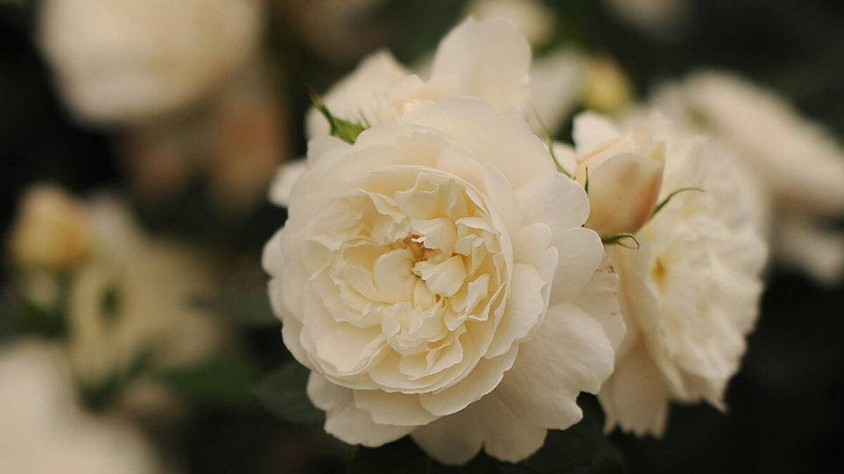 A rose entitled the 'William and Catherine' created by rose breeder David Austin is displayed during the Chelsea Flower Show in London, on May 23, 2011.
