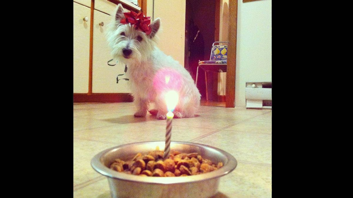 On May 3rd, 2012 our Westie, Henry, celebrated his first birthday.
