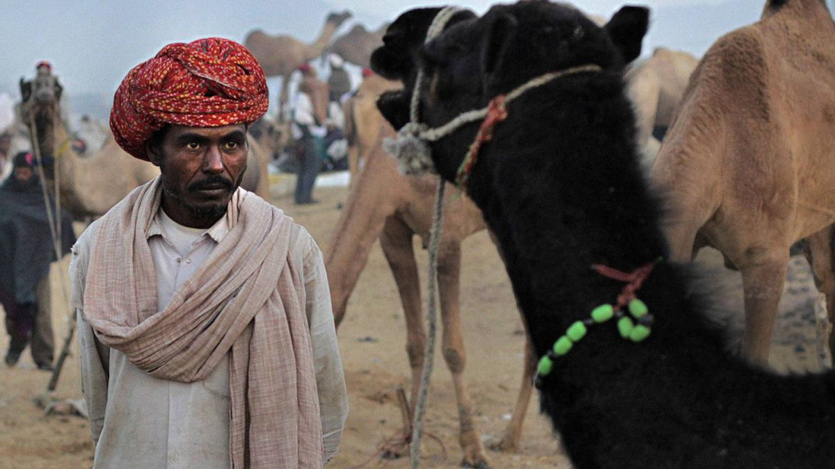 A villager looks at a camel before deciding to buy at the Pushkar fair, in the Indian state of Rajasthan.