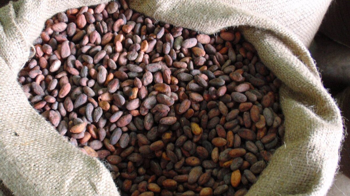 Raw cocoa beans used in some of Camino's 100-gram bars.