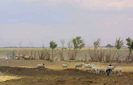 Scientists say a 'megadrought' that severely cuts crop production could hit. Howard Paulsen's sheep graze on what should be green pasture on his farm near Stavely, Alberta, on Aug. 13, 2001. Southern Alberta is going through it's second year of drought conditions.