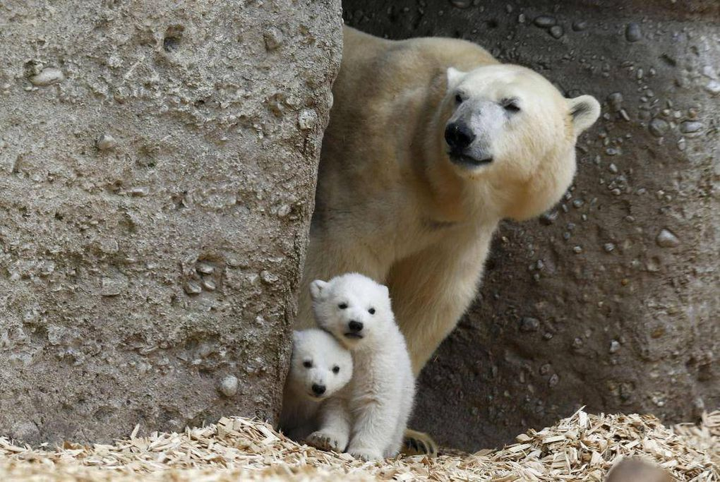 In Pictures: Polar bear cubs make their debut