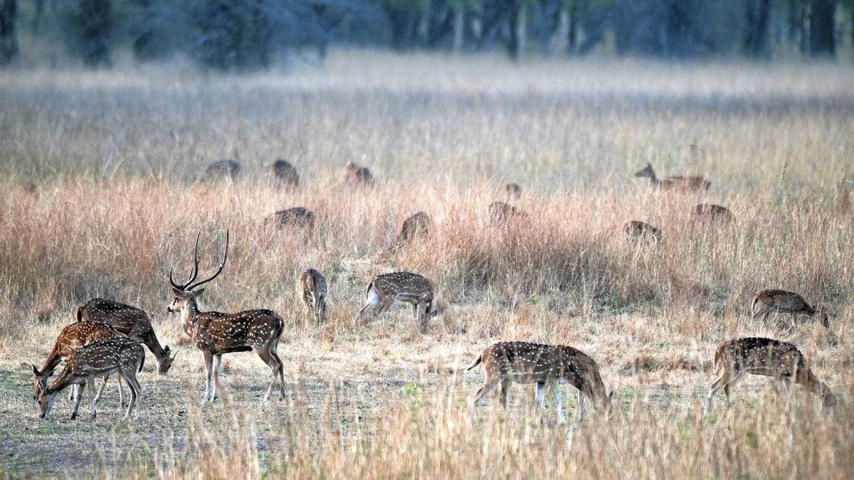 A large number of deer in Bandhavgarh National Park means there is also a healthy population of tigers.