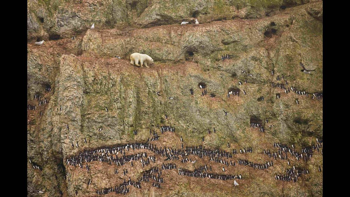 Jenny E. Ross of the U.S. has won the first prize Nature Singles with this picture of a male polar bear climbing precariously on the face of a cliff above the ocean at Ostrova Oranskie in northern Novaya Zemlya, Russia June 30, 2011, attempting to feed on seabird eggs. This bear was marooned on land and unable to feed on seals--its normal prey--because sea ice had melted throughout the region and receded far to the north as a result of climate change.