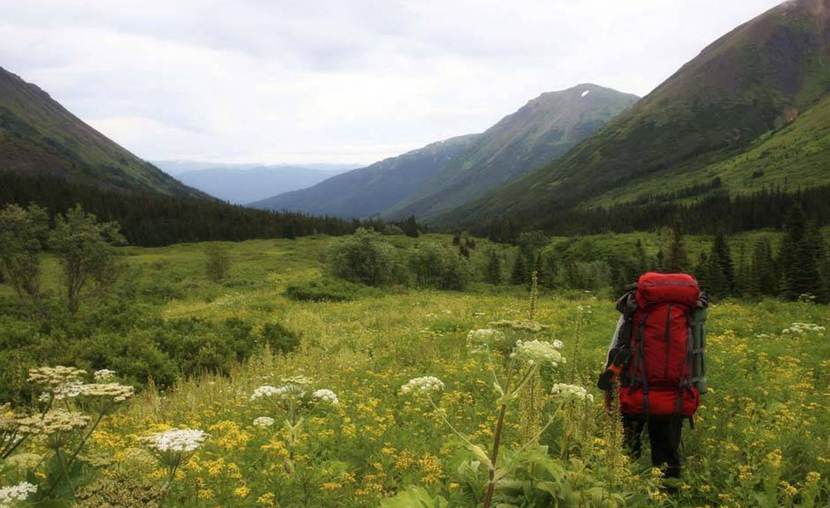 A backpacker walks through cow parsley at Mount Edziza.