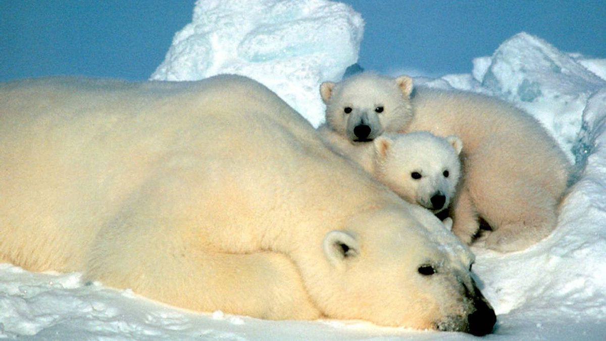 A female polar bear and her cubs are shown in the Arctic National Wildlife Refuge in Alaska in this undated file photo.