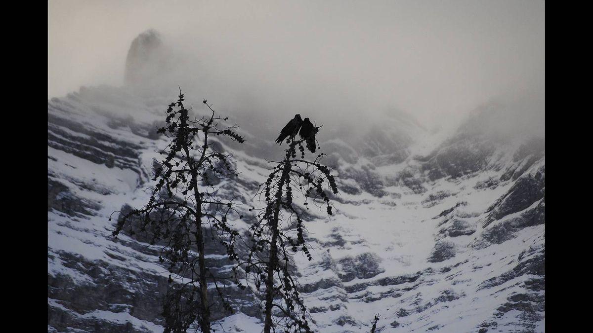 Barbara Baker photo: Dec 2010 - Shy ravens contemplating a relationship at Two Jack Lake in Banff National Park.