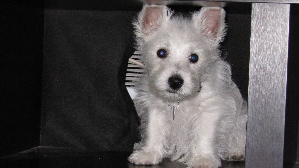 From Scott Hustwitt in Kitchener, Ontario: This is Theo, a 10-month-old West Highland White Terrier, hiding in the wall unit.