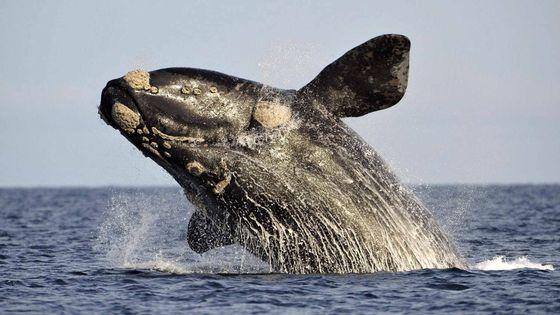 whales under threat of extinction