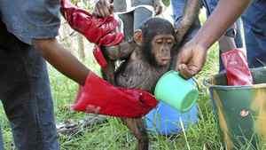 Tiny orphan chimpanzee gets a bath at the Tchimpounga Sanctuary.