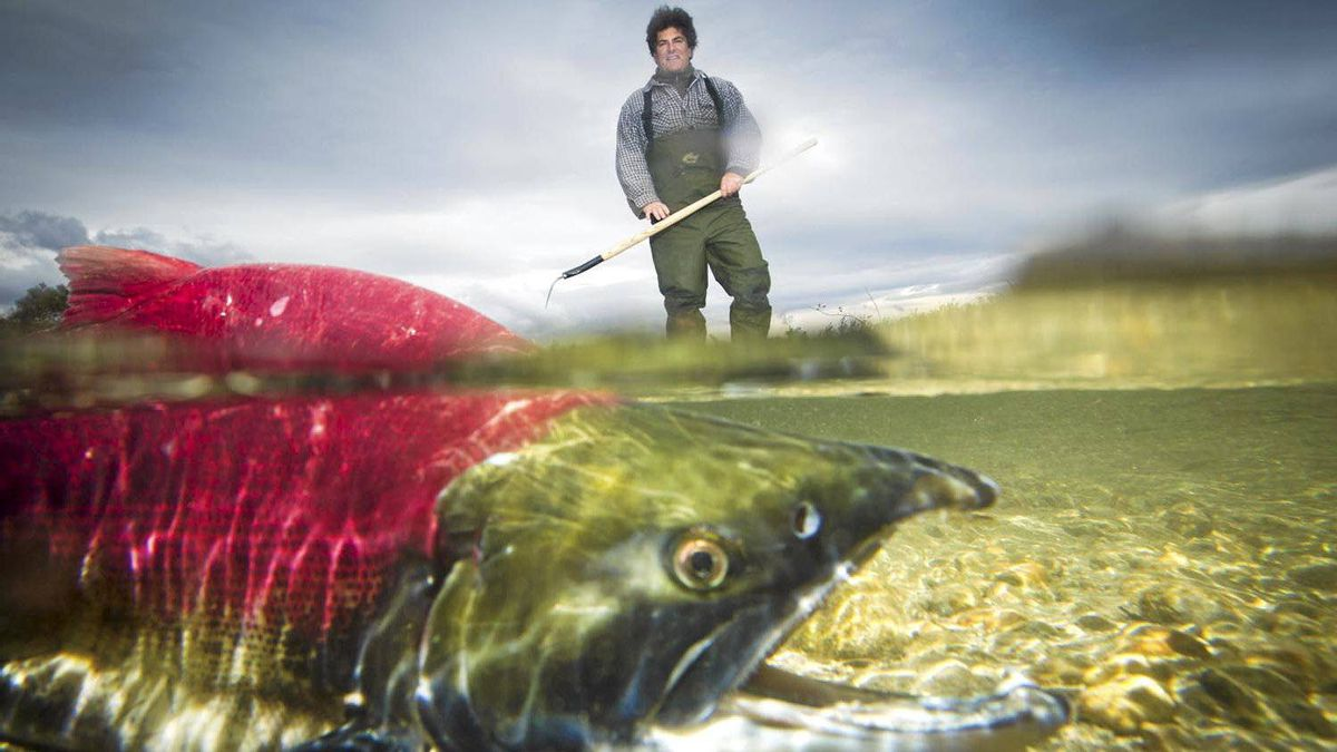 For two decades, the Fraser River's sockeye population has been steadily dwindling, leading to a catastrophic collapse in 2009, when only one million fish returned, instead of the 10 million expected.