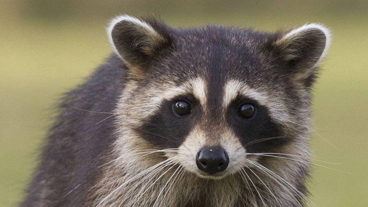 Raccoons: adorable but pesky.