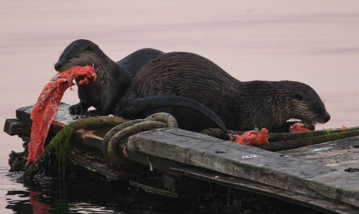 A pair of sea otters eat a salmon at dawn in Esquimalt, British Columbia on Vancouver Island August 13, 2010. The pair caught the fish in nearby waters and then devoured their catch on a small dock.