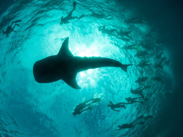 Dream Of Swimming With Whale Sharks Know That It S A