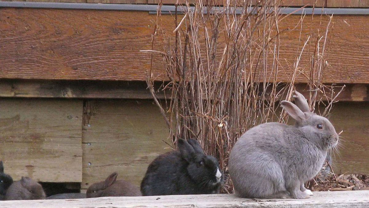 Some of Canmore's feral rabbits are shown in the Alberta town, Tuesday, Nov. 22, 2011.