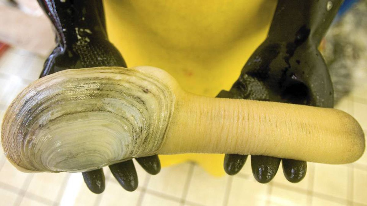 Geoduck is a lucrative shellfish crop in Vancouver Island's Kulleet Bay, but the Stz'uminus First Nation is threatening to blockade the fishery in a dispute over harvesting rights.