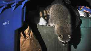 A raccoon rummages through a downtown-Toronto garbage can in this 2008 file photo.