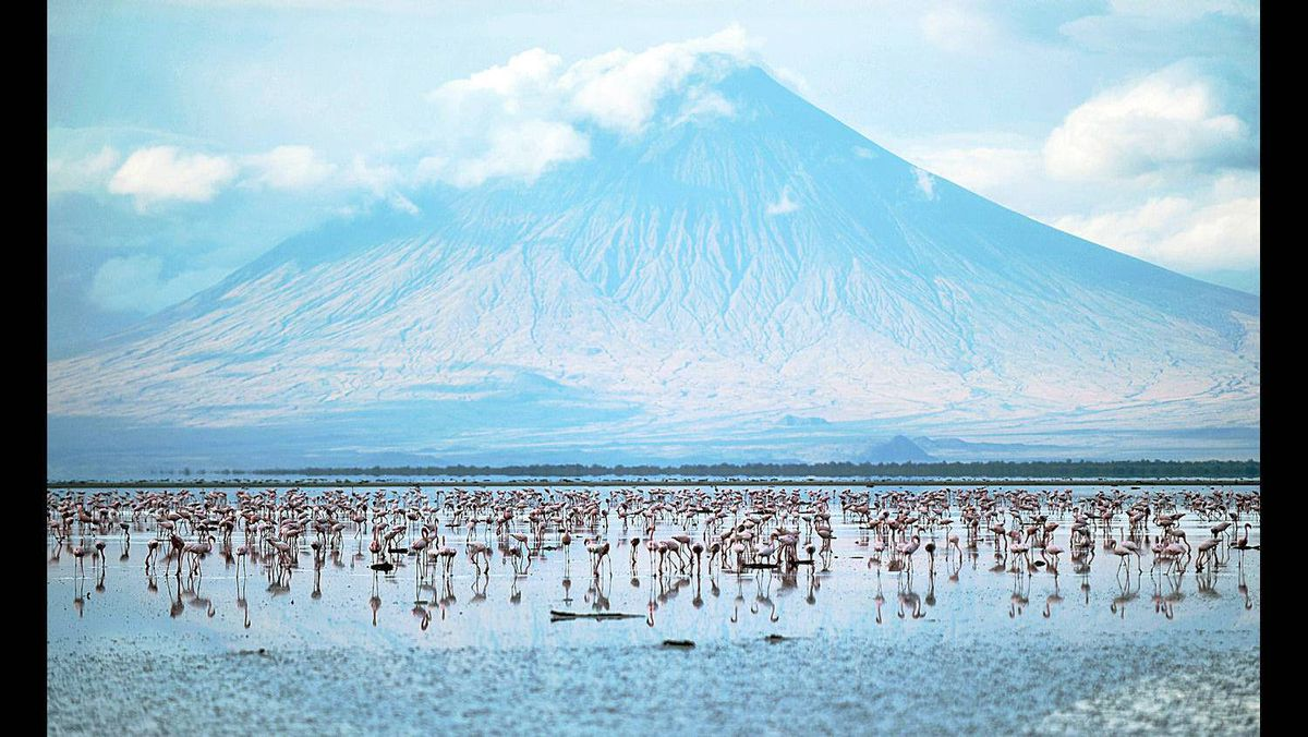 Lesser flamingoes are pictured on September 30, 2011 at the Lake Natron at the foot of Ol Doinyo Lengai in Tanzania. Salmon-coloured clouds of flamingoes sweeping overhead is a common sight at east Africa's Rift Valley lakes, but the mounds of mud where they lay their eggs are found only here.