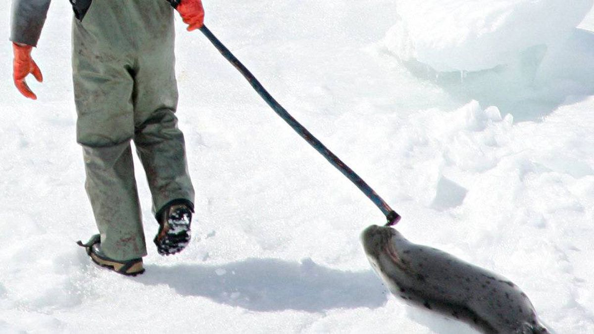 A seal hunter drags a harp seal back to his snowmobile during the annual seal hunt on a ice floe in the Gulf of St. Lawrence in this April 2, 2005 file photo. Animal welfare activists are rejoicing after the European Parliament passed a bill that will impose a ban on seal products.