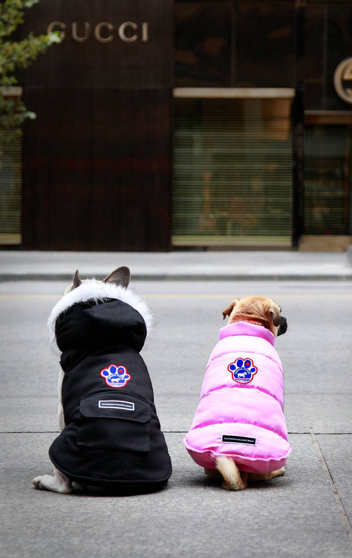 Decker and Bella surveying Bloor Street in their Canada Pooch coats.