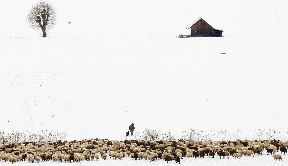 Swiss shepherd Markus Nyffeler walks with his flock of sheep through a snow covered field in Muehlethurnen near Bern