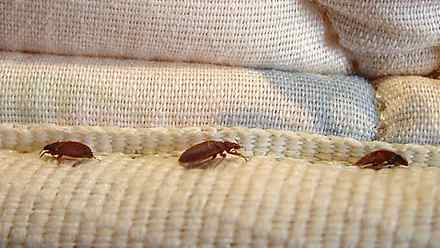 This undated file photo shows bed bugs in New York.