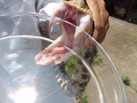 Drug derived from snake venom could prevent blood clots, researchers say