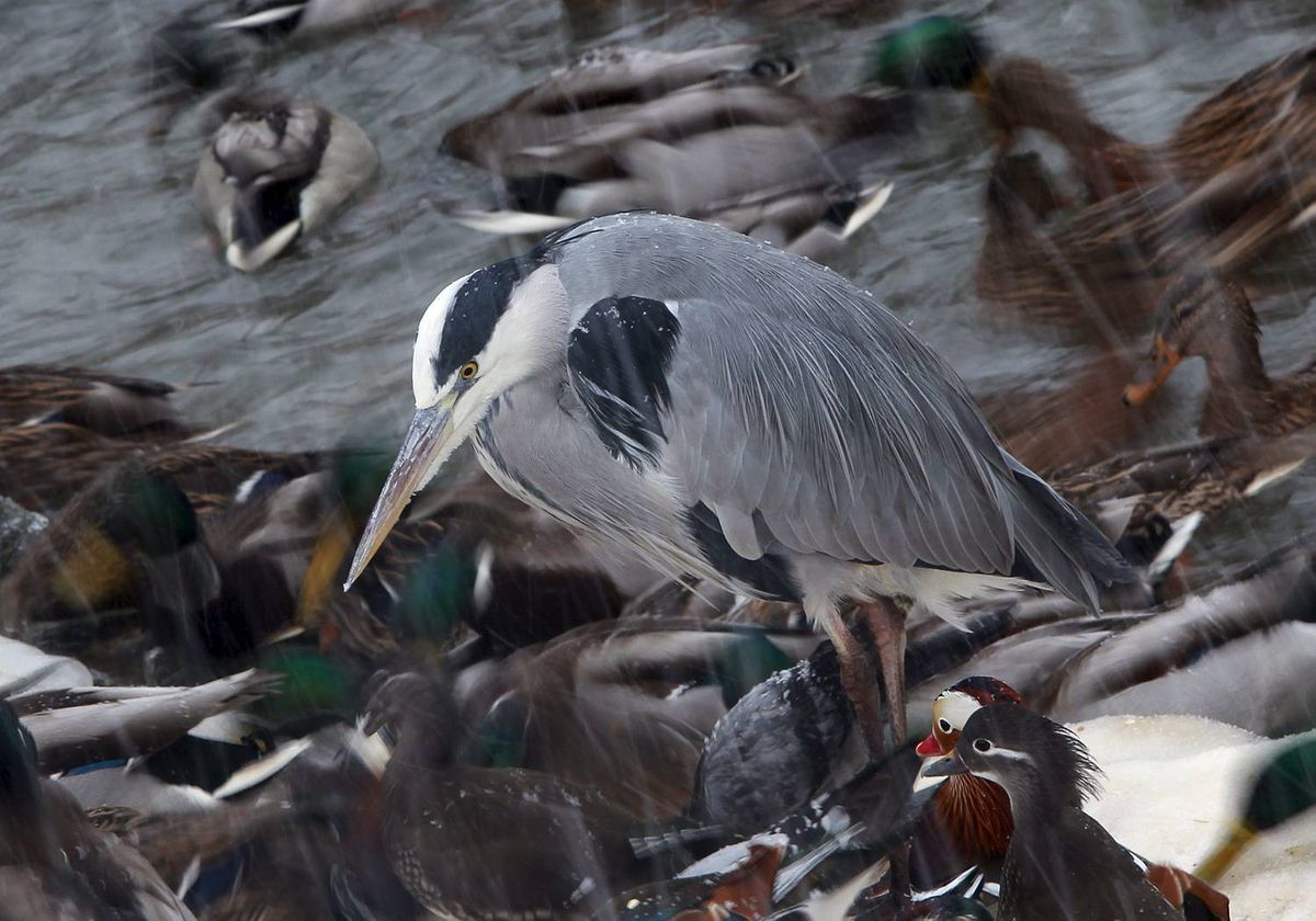 A gray heron stands between ducks during feeding time in zoo in Berlin