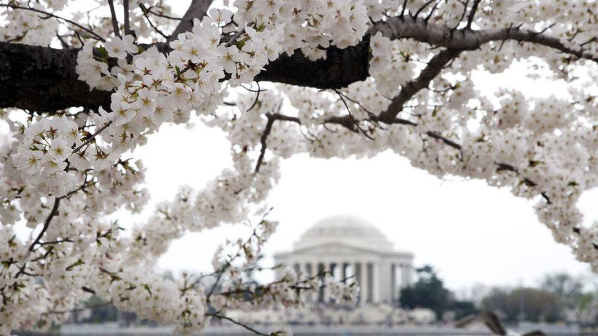 This year marks the hundredth year since Japanese flowering cherry trees first graced the National Mall.