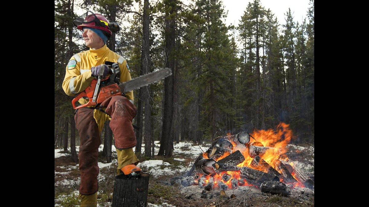 Ross Wilson from Calgary, a crew member on the Mountain Pine Beetle project cuts down a tree that has been infested by the Mountain Pine Beetle. After determining a tree is infested with mountain pine beetle, control crews will fall the tree and cut it into smaller portions to be piled and burned. Mountain pine beetles are attacking the province's pine trees. Left unmanaged, the beetle could devastate Alberta's pine forests and spread eastward across Canada's boreal region.