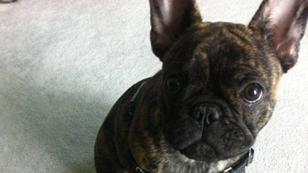 From Natalie Bobyk: Say hello to Steve, my friend Eric's new French Bulldog puppy!