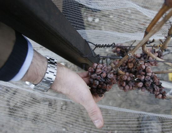What does Niagara's early icewine harvest mean for the 2019 vintage?