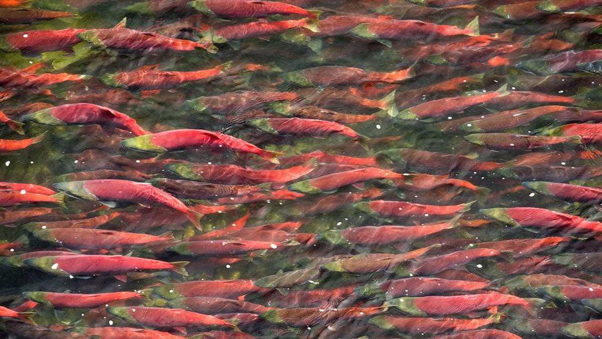 Sockeye salmon.