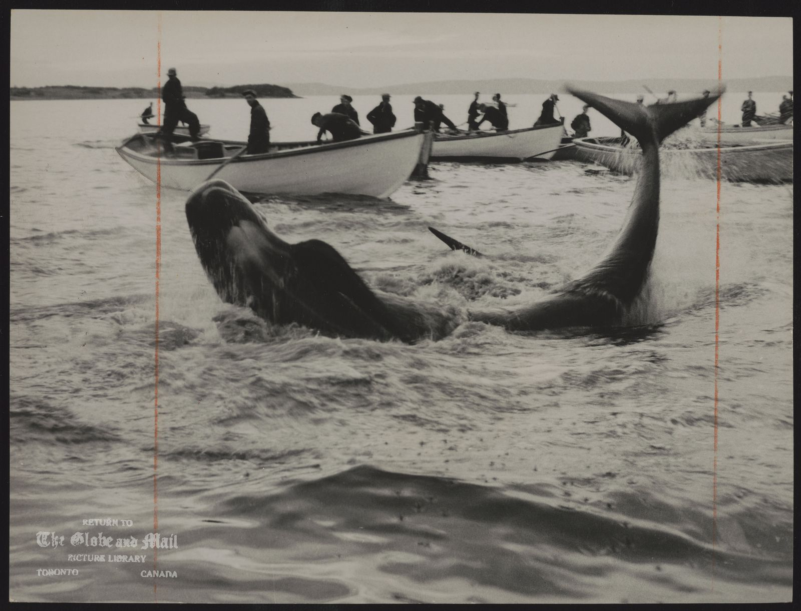 WHALING Huge whale twits and turns helplessly in shallows off Newfoundland.