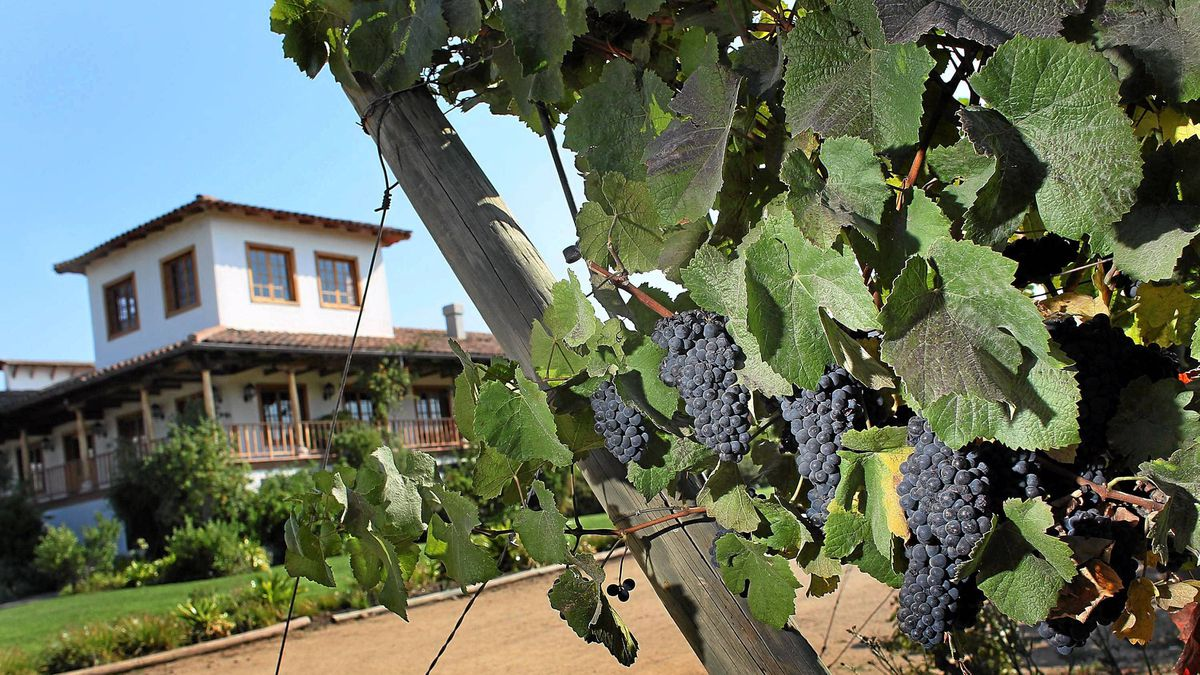 Grapes hang from the vine at the Montgras winery in Santa Cruz, Chile.