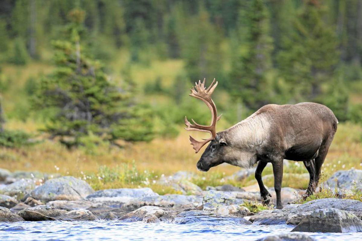 My National Animal The Noble Caribou The Globe And Mail
