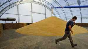 A worker unloads wheat at a farm near Fort MacLeod, Alta., on Sept. 26, 2011.