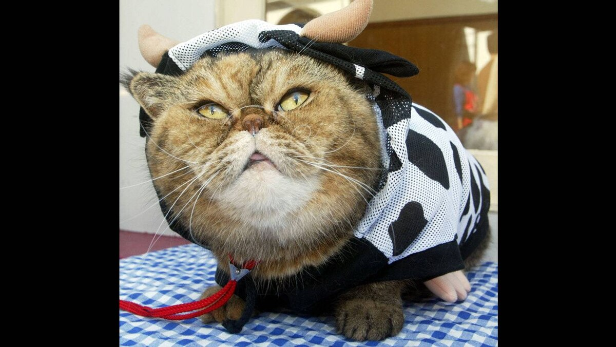Hitomi, an Exotic shorthair cat, wears a cow outfit during a beauty pageant at a cat park in Tokyo.