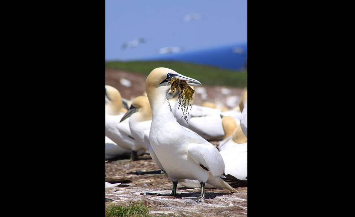 Northern gannets use seaweed to build their nests at Gaspé.